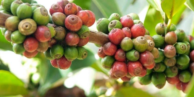 Typica Image